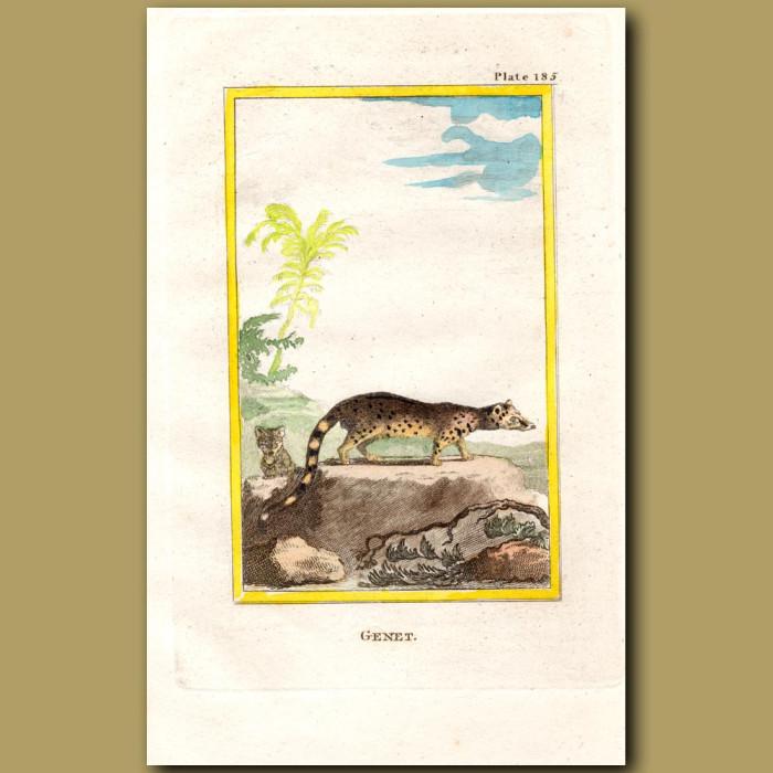 Genet: Genuine antique print for sale.
