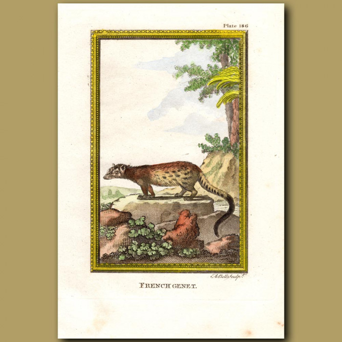 French Genet: Genuine antique print for sale.
