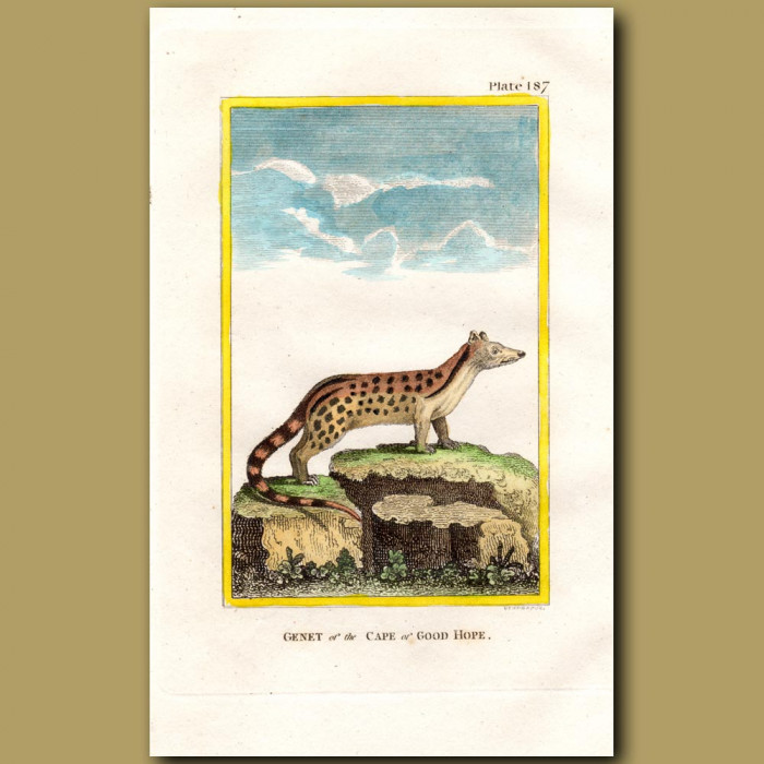 Genet Of The Cape Of Good Hope: Genuine antique print for sale.