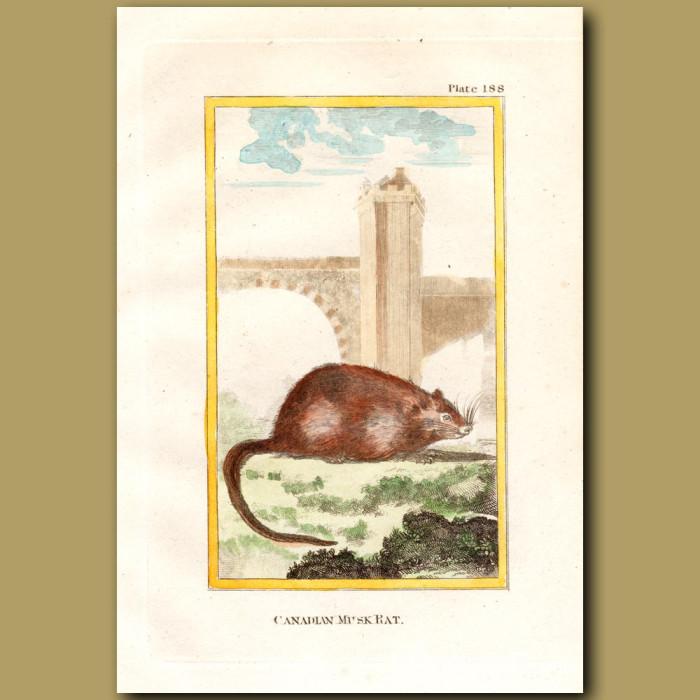 Canadian Musk Rat: Genuine antique print for sale.