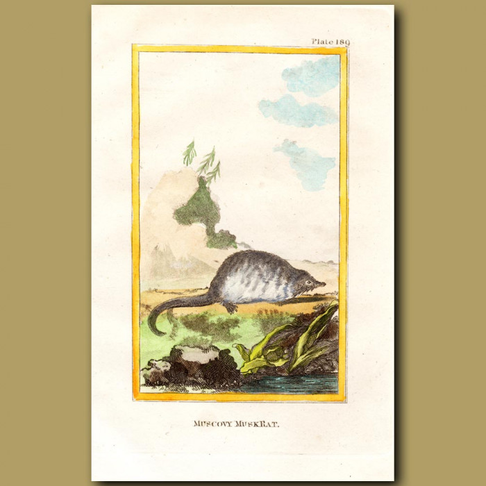 Muscovy Musk Rat: Genuine antique print for sale.