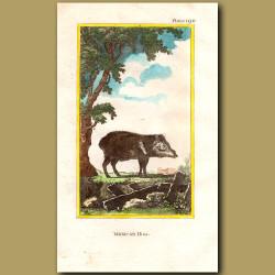 Mexican Hog