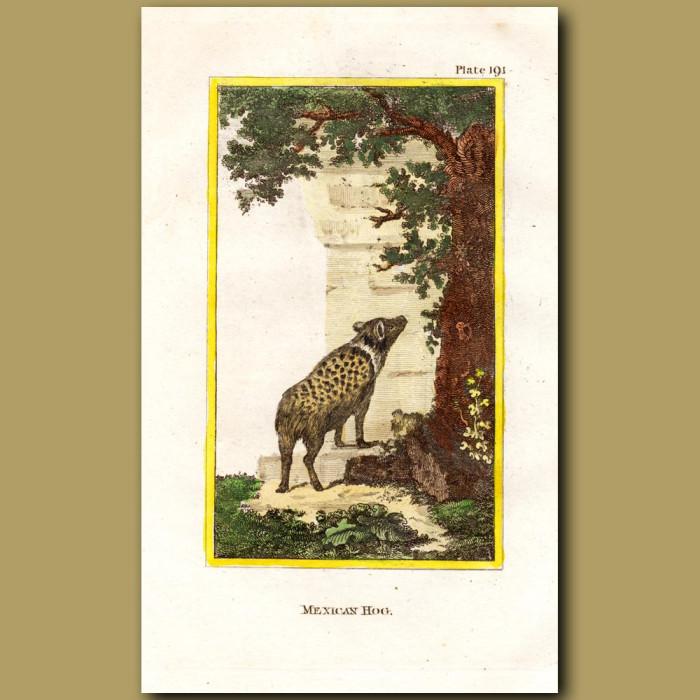 Mexican Hog: Genuine antique print for sale.