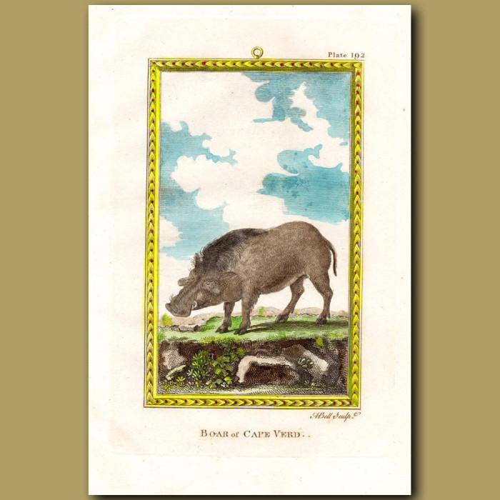 Boar Of Cape Verd: Genuine antique print for sale.
