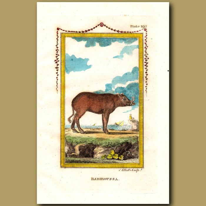 Babiroussa: Genuine antique print for sale.
