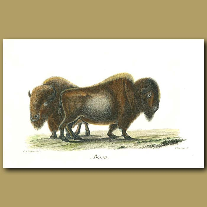 Antique print. Bison
