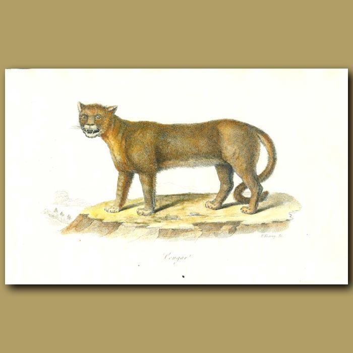 Antique print. Cougar