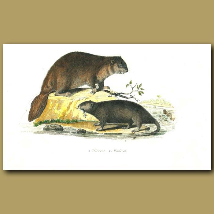 Antique print. Beaver and Muskrat