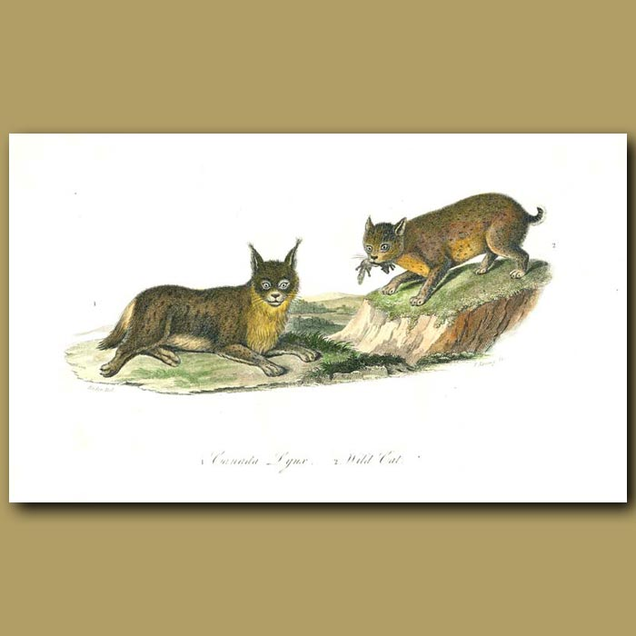 Antique print. Canada Lynx and Wild Cat