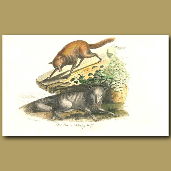 Antique print. Red Fox and Barking Wolf