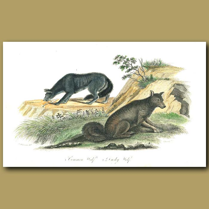 Antique print. Common Wolf and Dusky Wolf