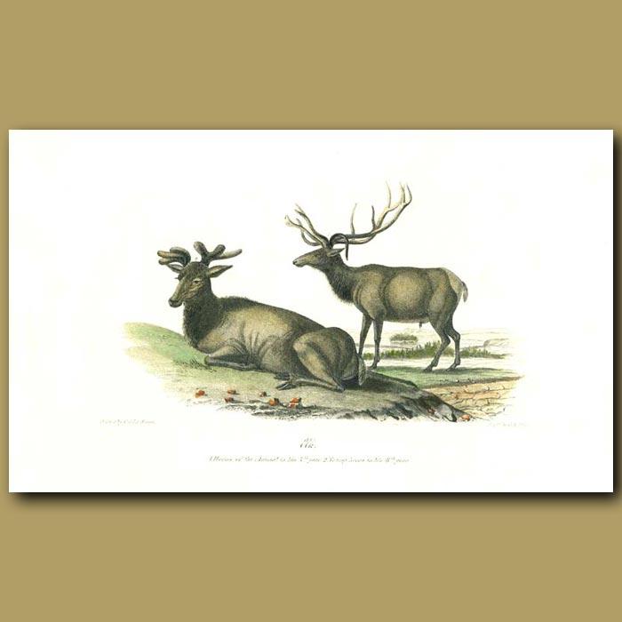 Antique print. Elk