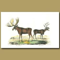 Moose Deer and Reindeer