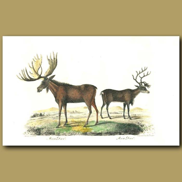 Antique print. Moose Deer and Reindeer