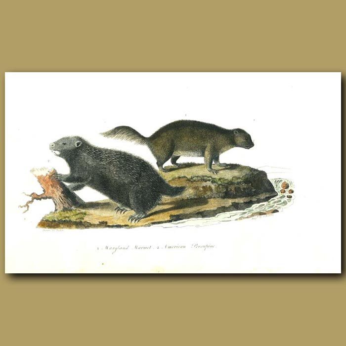 Antique print. Maryland Marmot and American Porcupine