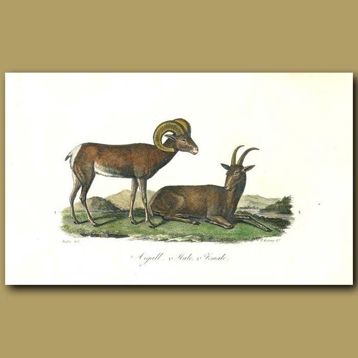 Antique print. Argall (male and female)