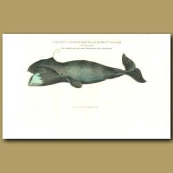 Baleaena mysticuetus or Common Whale