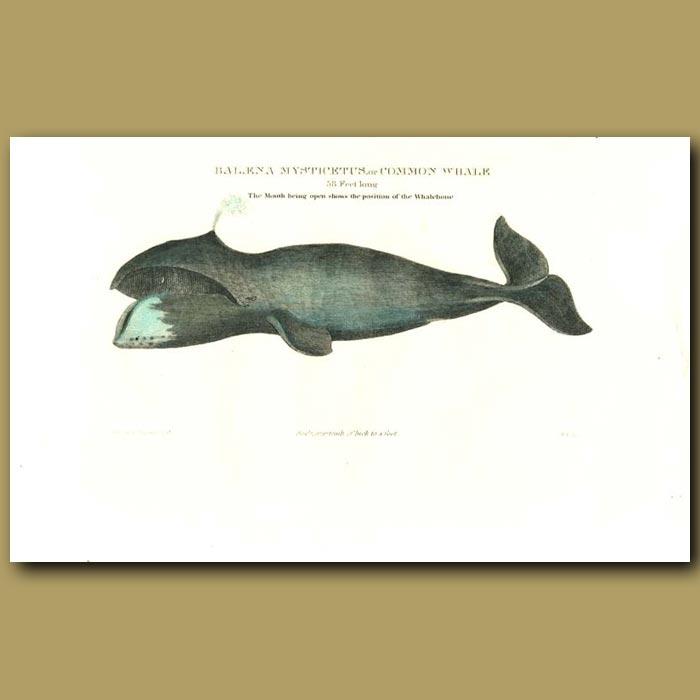 Antique print. Baleaena mysticuetus or Common Whale