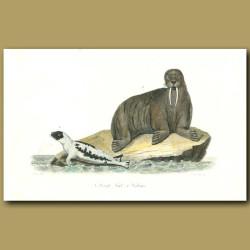 Harp Seal and Walrus