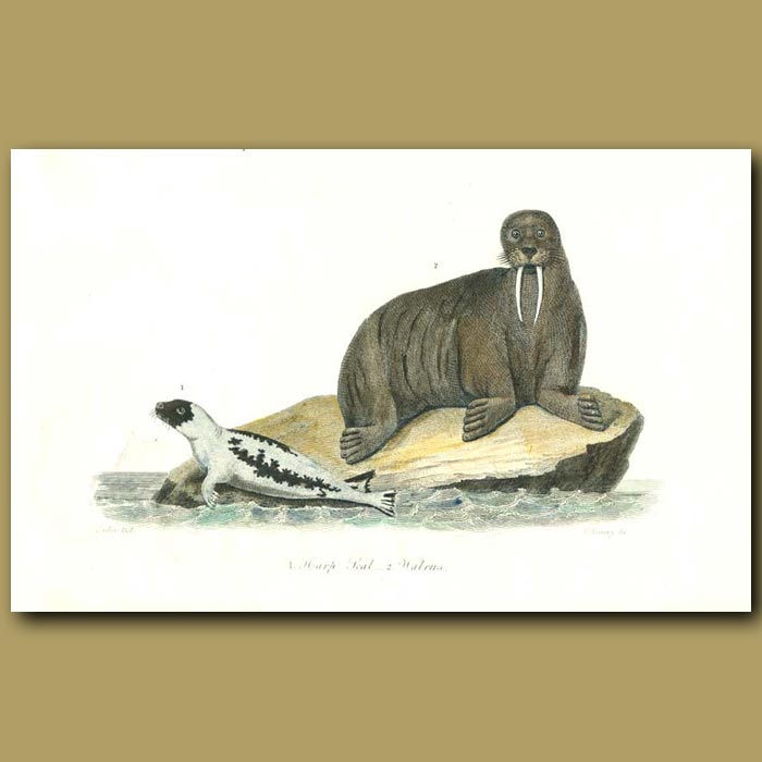 Antique print. Harp Seal and Walrus