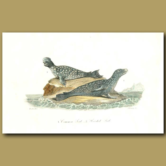 Antique print. Common Seal and Hooded Seal