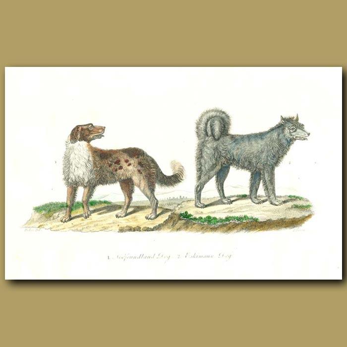 Antique print. Newfoundland Dog and Eskimaux Dog