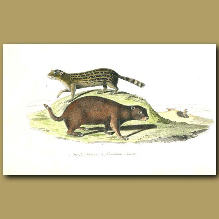 Antique print. Wood's Marmot and Louisiana Marmot