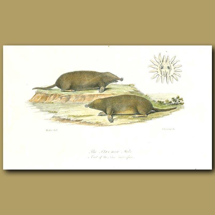 Antique print. The Star Nose Mole