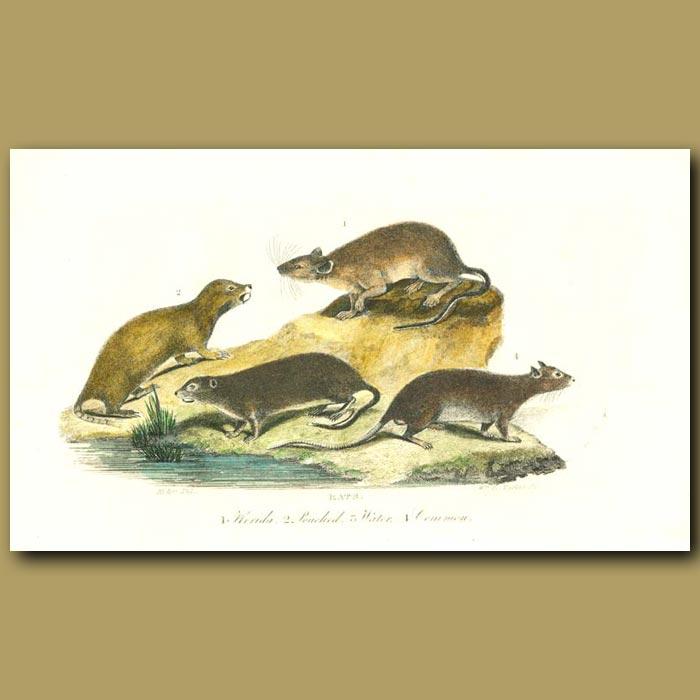 Antique print. Rats