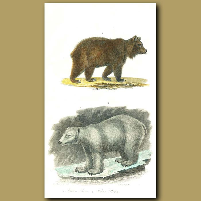 Antique print. Brown Bear and Polar Bear