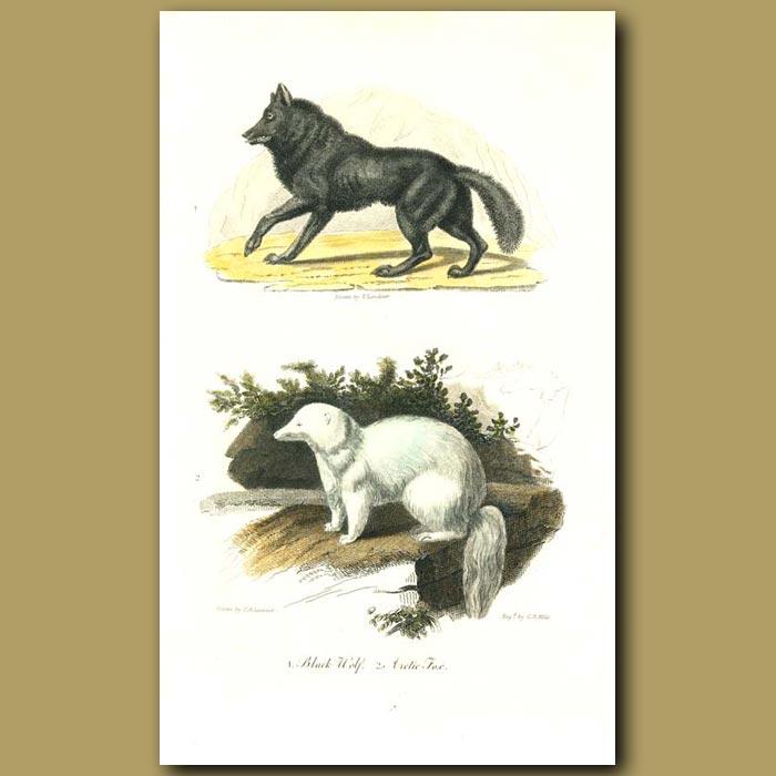 Antique print. Black Wolf and Arctic Fox