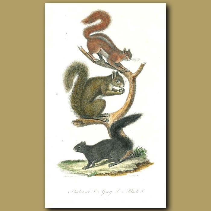 Antique print. Chickaree Squirrel, Grey Squirrell and Black Squirrel
