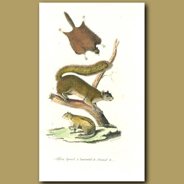 Antique print. Flying Squirrel, Great-tailed Squirrel and Ground Squirrel