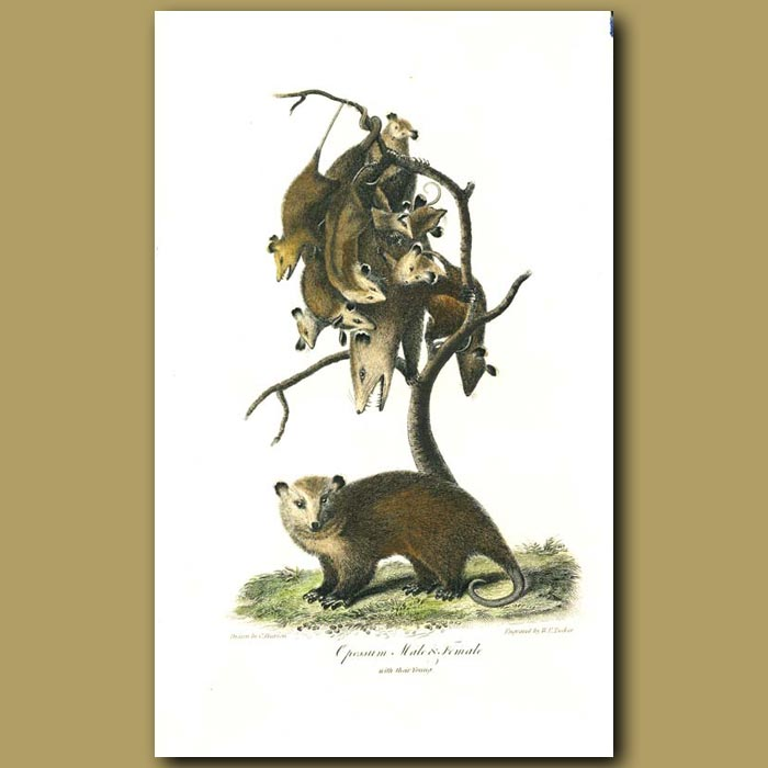 Antique print. Oposum (male,female and babies)