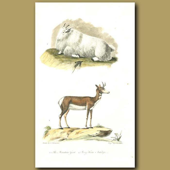 Antique print. Mountain Goat and Prong Horn Antelope