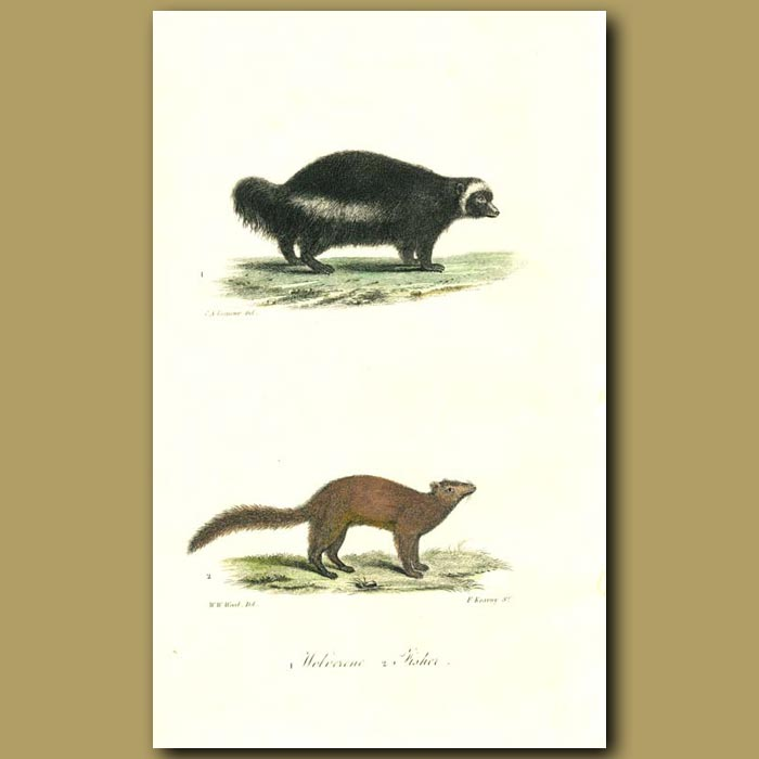 Antique print. Wolverine and Fisher
