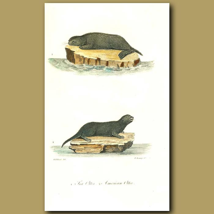 Antique print. Sea Otter and American Otter