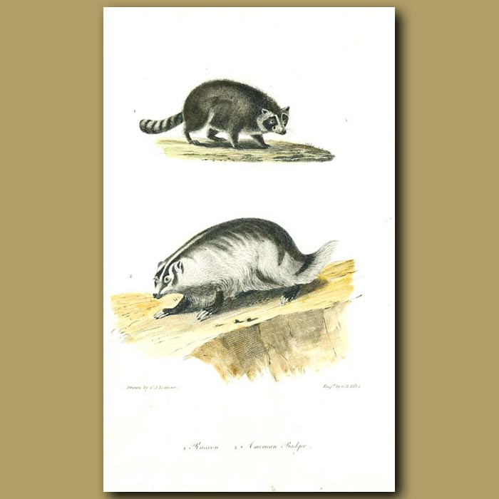 Antique print. Raccoon and American Badger