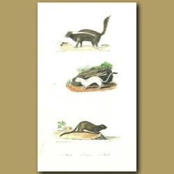 Skunk, Ermine and Mink