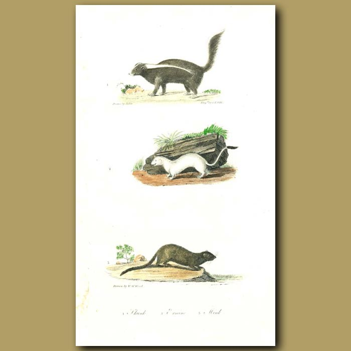 Antique print. Skunk, Ermine and Mink