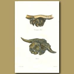 Ox and Bison Skulls