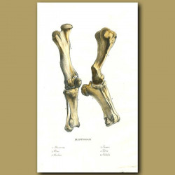 Mastodon bones
