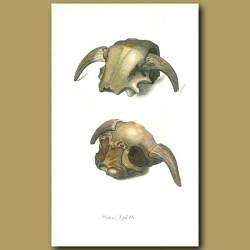 Wistar's Fossil Ox