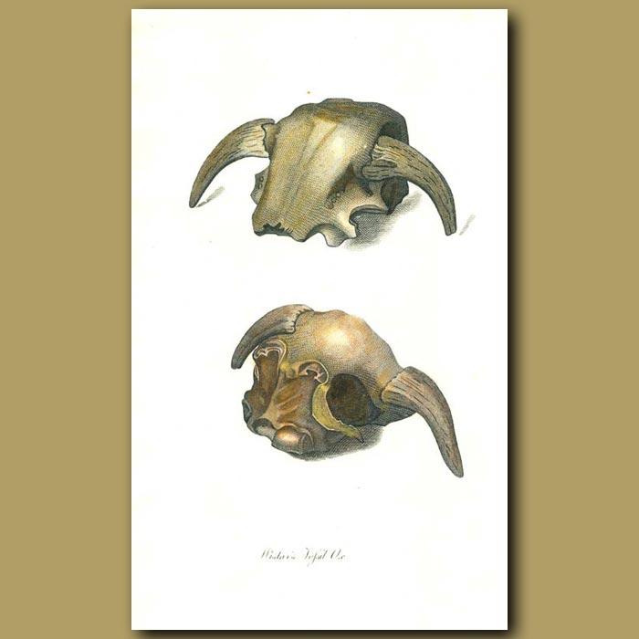 Antique print. Wistar's Fossil Ox