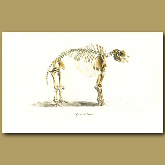 Antique print. Giant Mastodon