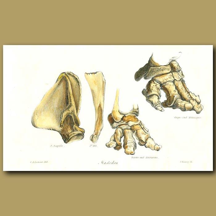 Antique print. Mastodon bones