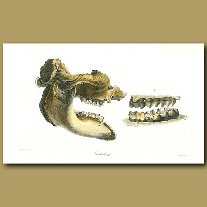 Antique print. Mastodon skull
