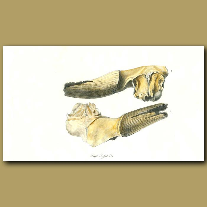 Antique print. Great Fossil Ox