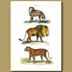 Striped Hyena, Lion and Tiger