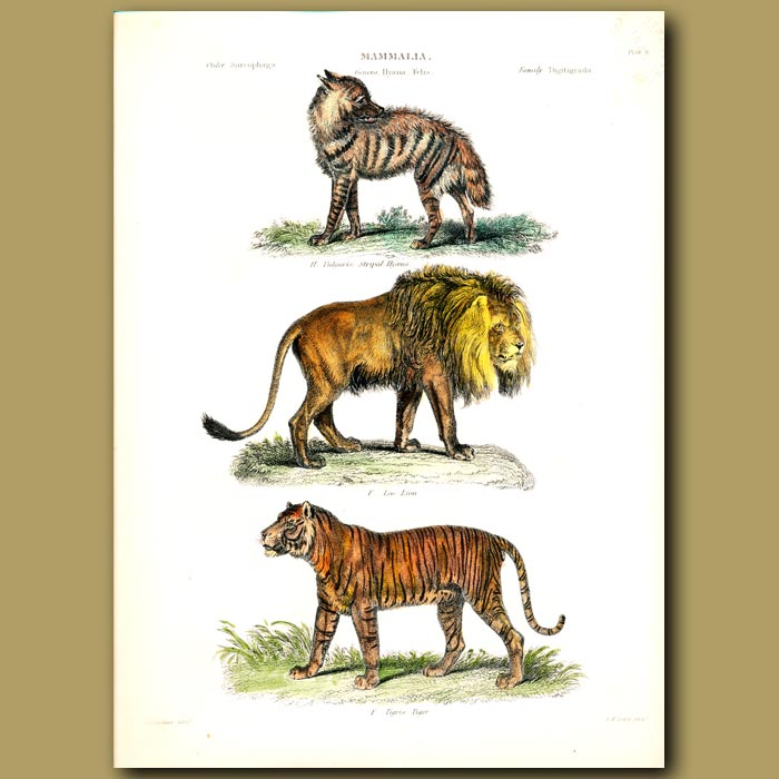 Antique print. Striped Hyena, Lion and Tiger